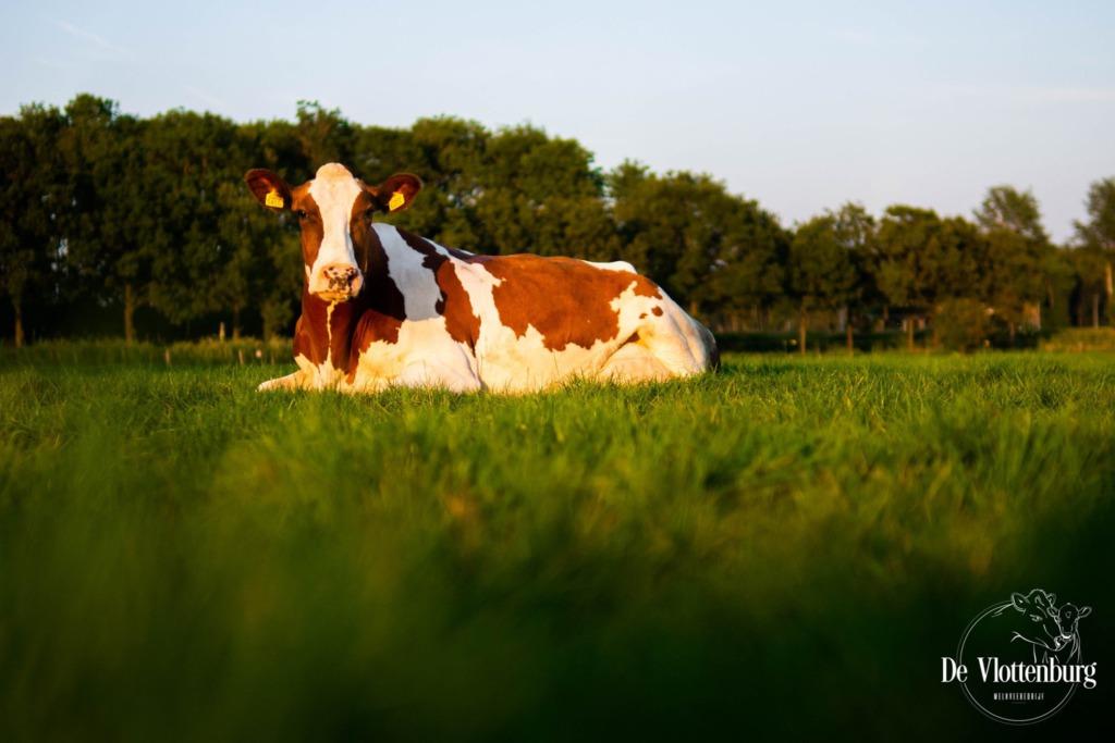 Een prachtige foto van een koe van melkveehouderij de Vlottenburg in Oud-Dijk Zuid. Een van de boerderijen die hun landbouw wil combineren met duurzame energie.