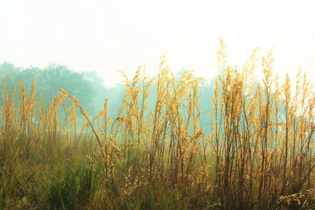 Olifantsgras is ideaal voor biiomassa in Nederland