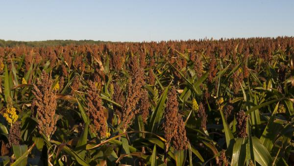 Sorghum is geschikt voor biomassa