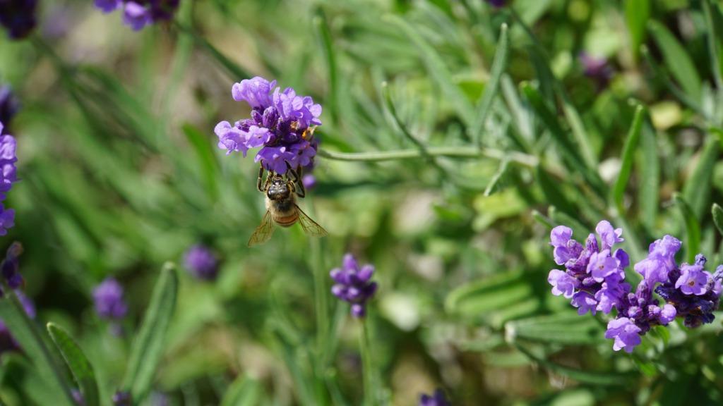 Zonneweides kunnen gecombineerd worden met wilde bloemen. Zo kan de insectenpopulatie weer groeien en de biodiversiteit vergroot worden.